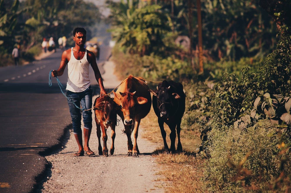 FF Daily #320: India's bovine problem